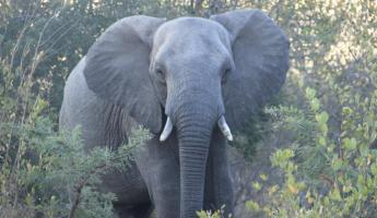 Elepant at Thornybush Reserve