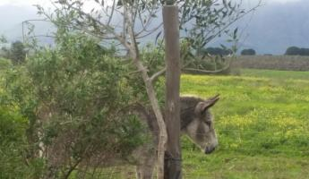 Donkey at Spier Winery