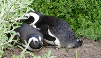 South African Penguins Cape Peninsula