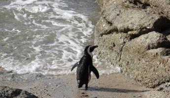 South African Penguin Cape Peninsula