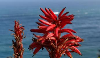 Flower at Cape Point