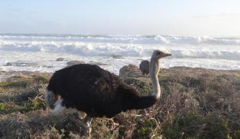Ostrich on Cape Peninsula