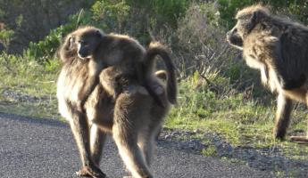 Baboons on Cape Peninsula