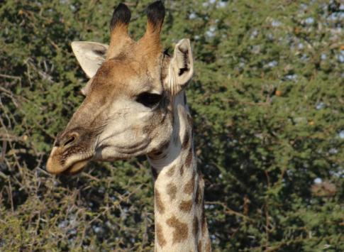 Giraffe at Thornybush Reserve