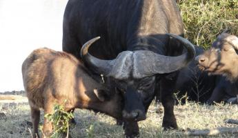 Water Buffalo at Thornybush Reserve