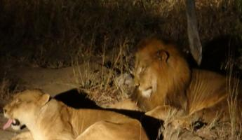 Lions by Spotlight at Thornybush Reserve