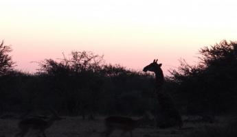 Giraffe at sunrise Thornybush Reserve
