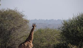 Giraffe during Walking Safari
