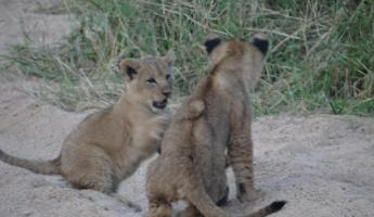 Lion Cubs Thornybush Reserve