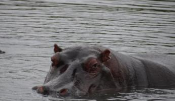 Hippo in Sabi Sands Reserve