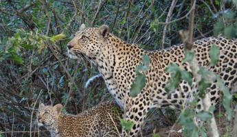 Leopard mom and cub in Sabi Sands Reserve