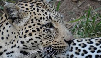 Leopard in Sabi Sands Reserve