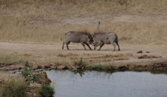 Warthogs at watering hole Leopard Hills