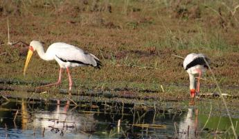 Storks on our Zambezi River cruise