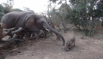 Chasing away the competition (a warthog) at the Elephant Encounter Victoria Falls