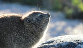 Rock Hyrax Table Mountain