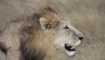 Lion in Sabi Sands Reserve
