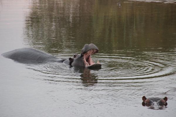 Hippos on our Zambezi River cruise
