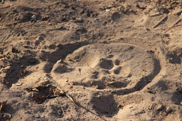 Tracking Leopards at Thornybush Reserve