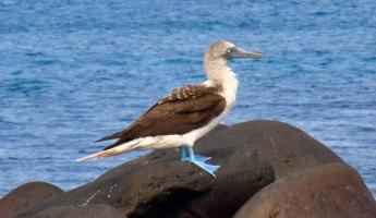 Blue-footed boobies, gotta check them off the list!