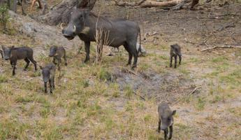 A sounder of Warthogs