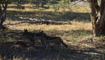 2 Jackals on a recently abandoned Cheetah kill