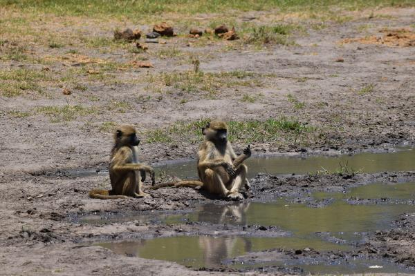 Vervet monkeys at the watering hole