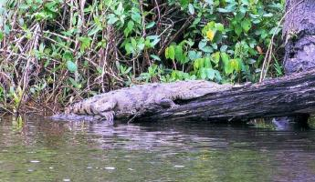 Big old croc sleeping in the sun