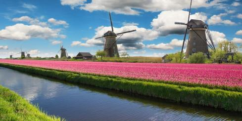 Colorful tulips in the Netherlands