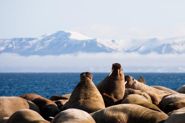 Walruses huddling together in Svalbard.