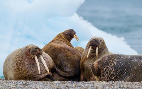 Walruses huddled together on the ice