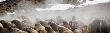 Walruses coming ashore in the arctic