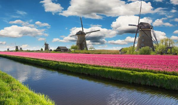 Tulips and windmills in the Dutch countryside.