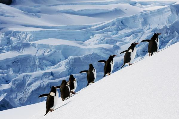 Penguins navigating the icy slopes