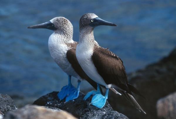 Blue-footed boobies perched on volcanic rocks