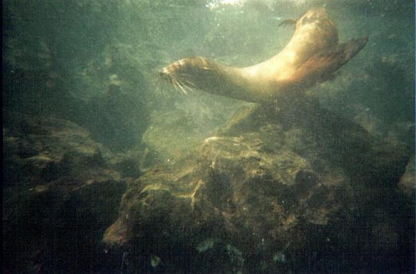 Sea lion playing off Isla Lobos