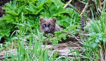 Arctic fox peeking out from the greenery