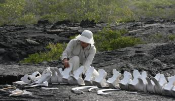 Examining the remains of a whale in the Galapagos