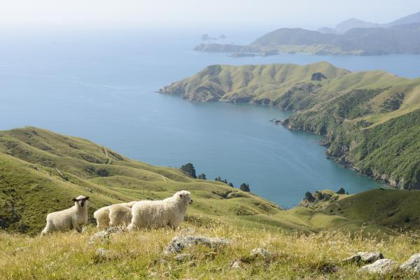 Sheep on a hillside overlooking Marlborough Sounds