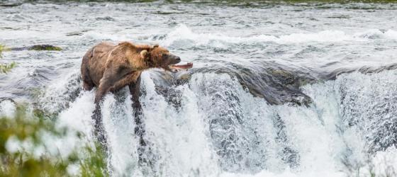 A bear catches a fish as it swims upstream