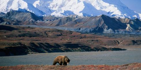 A bear explores the tundra surrounding Denali