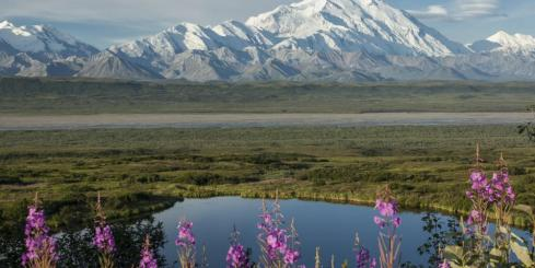 Fireweed blooms before majestic Denali
