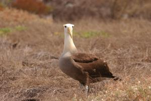 Sole Albatrosse looking for the group
