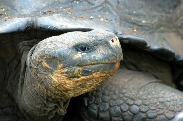 Get up close to a Galapagos Tortoise!