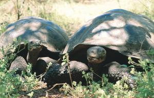 Two Galapagos Tortoises taking in some shade in the Galapagos