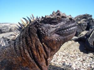 Marine iguana sunning itself in the Galapagos Islands