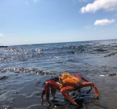 Sally Lightfoot Crab in the surf