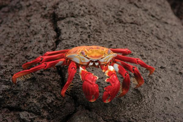 Sally Lightfoot crab posing for the camera in the Galapagos Islands