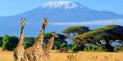 Giraffes on the savanna surrounding Mt. Kilimanjaro