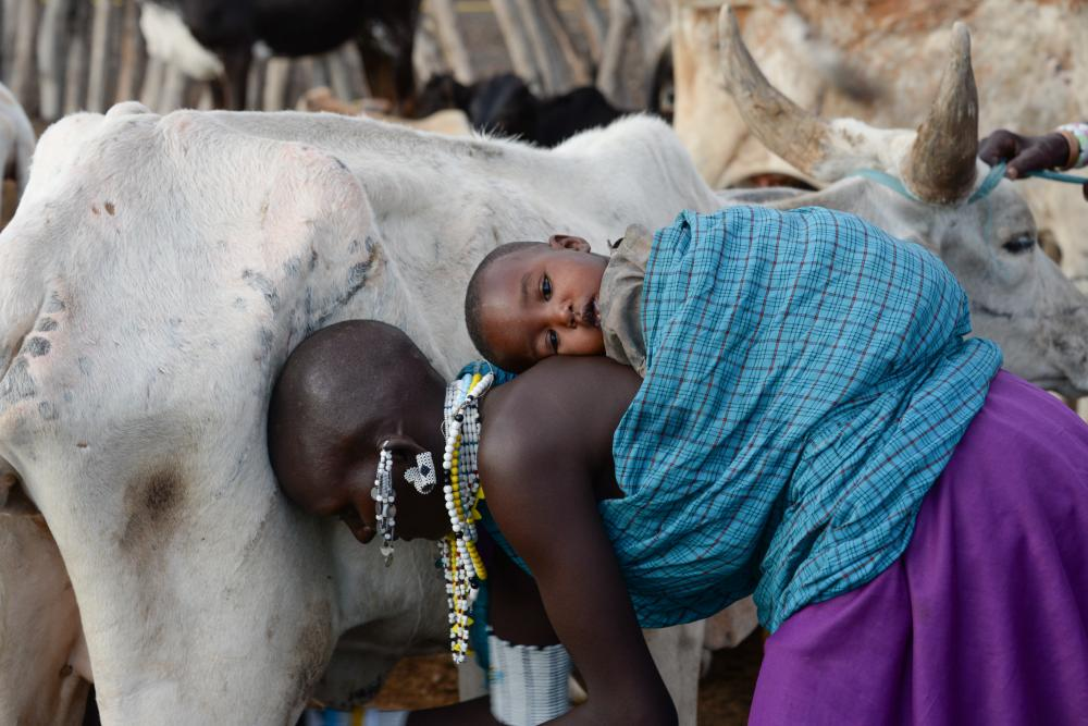 Beautiful Maasai mom with her baby helping to milk the cows for the morning.